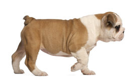 Filhote de cachorro inglês que anda, 2 meses do buldogue velho Fotografia de Stock