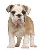 Filhote de cachorro inglês do buldogue, posição, 2 meses velha Imagens de Stock Royalty Free