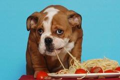 Filhote de cachorro inglês do buldogue que come o espaguete Fotografia de Stock Royalty Free