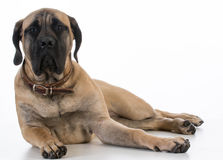Filhote de cachorro inglês do mastiff Imagem de Stock Royalty Free