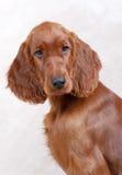 Filhote de cachorro irlandês do setter Fotografia de Stock