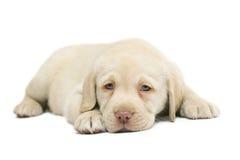 Filhote de cachorro Labrador. Imagem de Stock