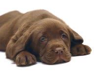 Filhote de cachorro Labrador do chocolate. Imagens de Stock Royalty Free