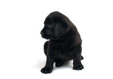 Filhote de cachorro Labrador preto Imagens de Stock Royalty Free
