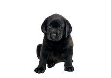 Filhote de cachorro Labrador preto Fotografia de Stock
