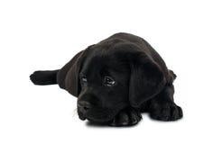 Filhote de cachorro Labrador preto Foto de Stock Royalty Free