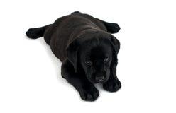 Filhote de cachorro Labrador preto Fotografia de Stock Royalty Free