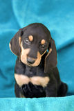Filhote de cachorro macio italiano da raça imagem de stock royalty free