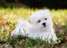 Filhote de cachorro maltês (2 meses velho) Fotografia de Stock