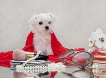 Filhote de cachorro maltês Foto de Stock