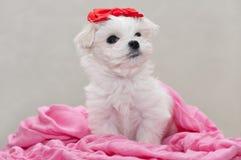 Filhote de cachorro maltês Imagem de Stock