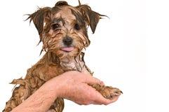 Filhote de cachorro maltês da mistura de Yorkie que começ um banho Fotografia de Stock