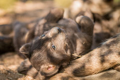 Filhote de cachorro manchado da hiena no parque nacional de Kruger Imagens de Stock