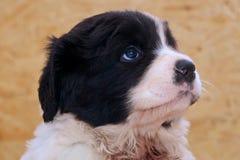Filhote de cachorro masculino muito novo de Landseer ECT Fotos de Stock Royalty Free