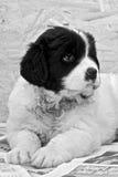 Filhote de cachorro masculino muito novo de Landseer ECT - preto e branco Fotografia de Stock