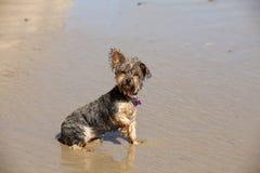 Filhote de cachorro molhado sujo Imagem de Stock