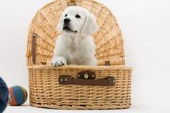 Filhote de cachorro na cesta Imagens de Stock Royalty Free