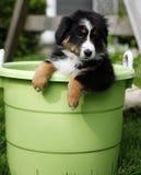 Filhote de cachorro na cubeta Foto de Stock Royalty Free