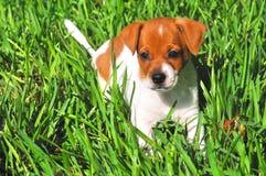 Filhote de cachorro na grama Imagem de Stock Royalty Free