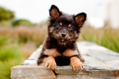 Filhote de cachorro na parede Fotografia de Stock