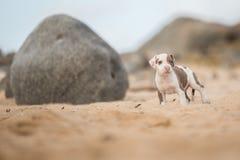 Filhote de cachorro na praia Fotografia de Stock Royalty Free