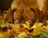 Filhote de cachorro nas folhas de outono. Fotos de Stock