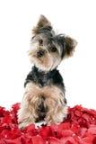 Filhote de cachorro nas pétalas cor-de-rosa Fotografia de Stock Royalty Free