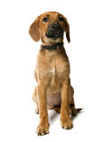 Filhote de cachorro no branco Fotos de Stock Royalty Free