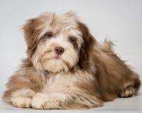 Filhote de cachorro no estúdio imagens de stock