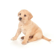 Filhote de cachorro no fundo branco Foto de Stock