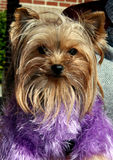 Filhote de cachorro no roxo Imagens de Stock Royalty Free