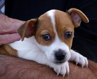 Filhote de cachorro nos braços Foto de Stock Royalty Free