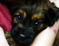Filhote de cachorro nos braços Fotos de Stock