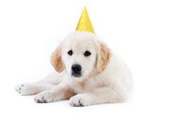 Filhote de cachorro novo do retriever do golder com chapéu do aniversário imagens de stock