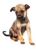 Filhote de cachorro pequeno Fotografia de Stock Royalty Free