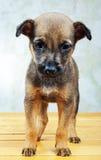 Filhote de cachorro pequeno Foto de Stock Royalty Free