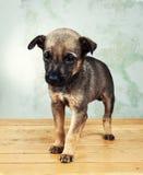 Filhote de cachorro pequeno Imagem de Stock Royalty Free