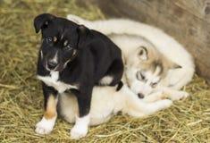Filhote de cachorro pequeno Fotos de Stock Royalty Free