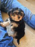 Filhote de cachorro pequeno bonito foto de stock