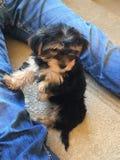 Filhote de cachorro pequeno bonito Fotografia de Stock