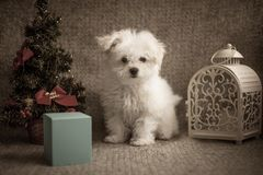 Filhote de cachorro pequeno branco fotos de stock royalty free