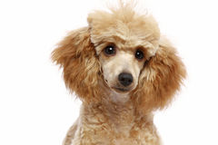 Filhote de cachorro pequeno da caniche do alperce Fotografia de Stock