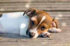 Filhote de cachorro preguiçoso Imagem de Stock