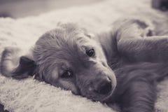 Filhote de cachorro preguiçoso fotografia de stock royalty free