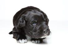 Filhote de cachorro preto Foto de Stock Royalty Free