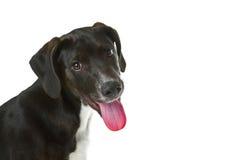 Filhote de cachorro preto de Labrador Imagens de Stock Royalty Free