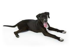 Filhote de cachorro preto de Labrador Fotos de Stock