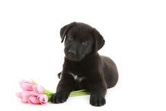 Filhote de cachorro preto de Labrador Foto de Stock