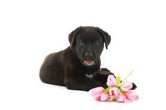 Filhote de cachorro preto de Labrador Foto de Stock Royalty Free