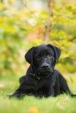 Filhote de cachorro preto de Labrador Imagens de Stock